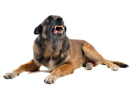 purebred belgian sheepdog malinois angry in front of white background photo