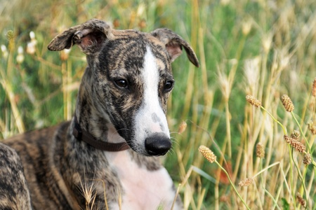 portrait of a purebred puppy whippet in a field photo