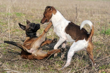 picture of a purebred puppy belgian sheepdog malinois and jack russel terrier playing Stock Photo