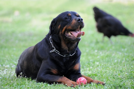 portrait of a purebred rottweiler and his ball with black chicken in the background photo