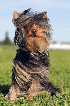 animal hair: portrait of a purebred puppy yorkshire terrier in the wind