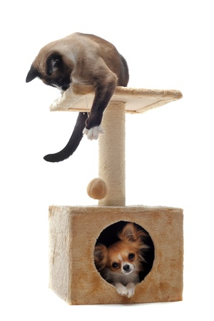 cats playing: purebred chihuahua and siamese cat on a scratching post