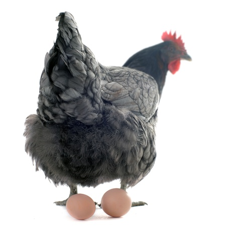 bantam hen: a gray chicken and her eggs in front of white background, focus on her back Stock Photo