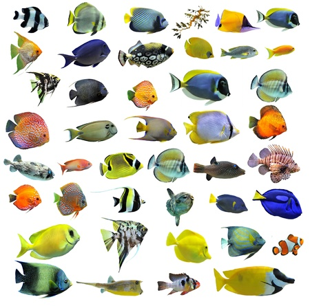 pomacanthus imperator: group of fishes on a white background Stock Photo
