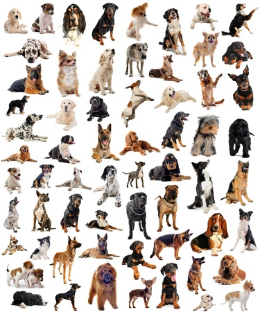 miniature dog: composite picture with purebred  dogs in a white background
