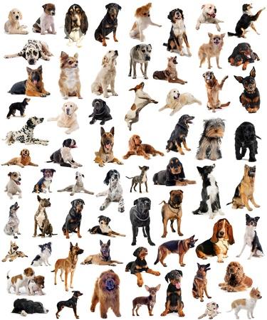 perro boxer: imagen compuesta con los perros de raza pura en un fondo blanco