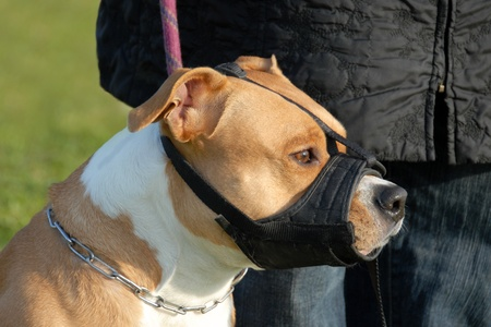 muzzle: head of purebred american staffordshire terrier with muzzle Stock Photo