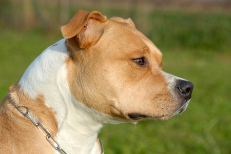 pitbull: head of purebred american staffordshire terrier with collar