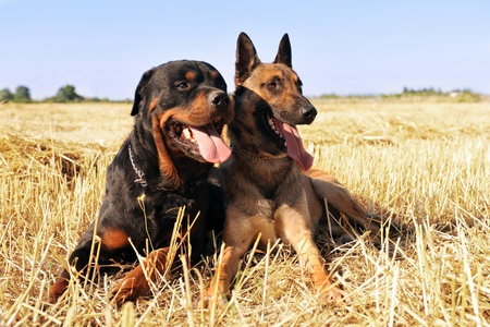 guard dog: picture of a purebred belgian sheepdog malinois and rottweiler