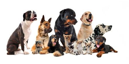 boxeador: raza perros pequeños y grandes en un fondo blanco Foto de archivo