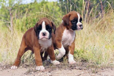 three purebred puppies boxer in the nature