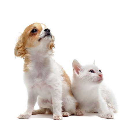 miniature dog: portrait of a cute purebred  puppy chihuahua and white kitten in front of white background Stock Photo