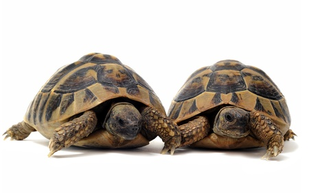 Two Testudo hermanni tortoises on a white isolated background photo