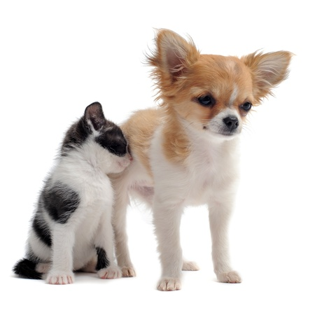 kitten small white: portrait of a cute purebred  puppy chihuahua and  kitten in front of white background Stock Photo