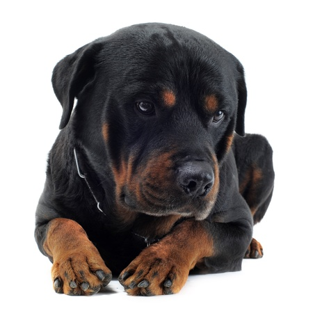 rottweiler: portrait of a purebred rottweiler in front of white background