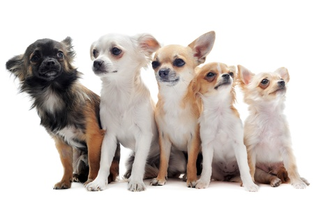 group of chihuahua  in front of white background photo