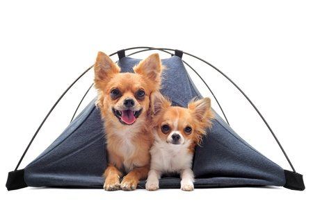short hair dog: portrait of two cute purebred  chihuahuas in tent in front of white background