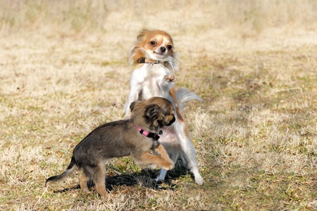 pedigree: two playing puppies purebred  chihuahua in a field Stock Photo