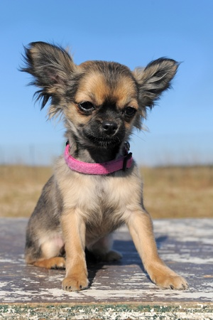 portrait of a cute purebred  puppy chihuahua