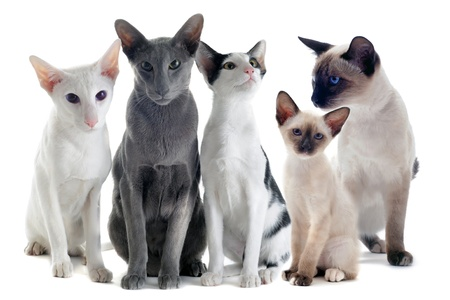 portrait of three oriental cats and two siamese cats in front of white background Stock Photo