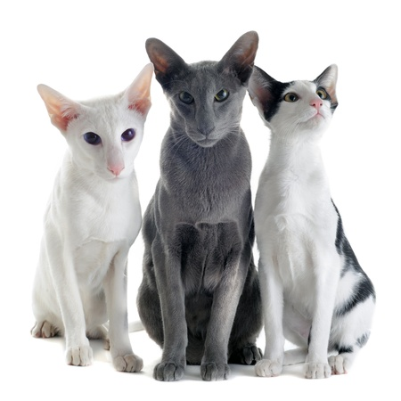 three animals: portrait of three oriental cats in front of white background