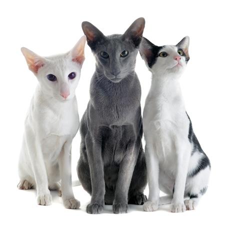 three animals: ritratto di tre gatti orientali di fronte a sfondo bianco Archivio Fotografico