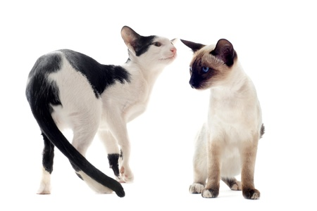 portrait of an oriental cat and a siamese cat in front of white background photo