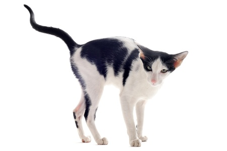 portrait of a oriental cat who marking his territory in front of white background photo