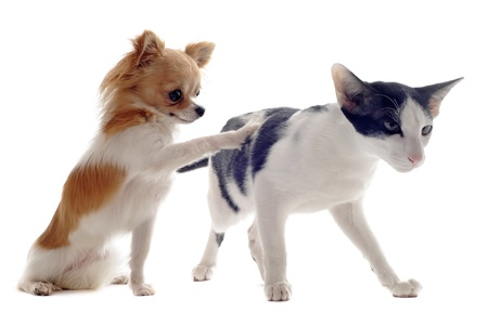 dogs play: portrait of an oriental cat and a chihuahua  in front of white background