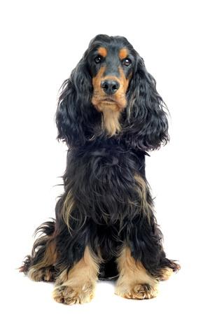 spaniel: portrait of a  purebred english cocker black and tan in a studio