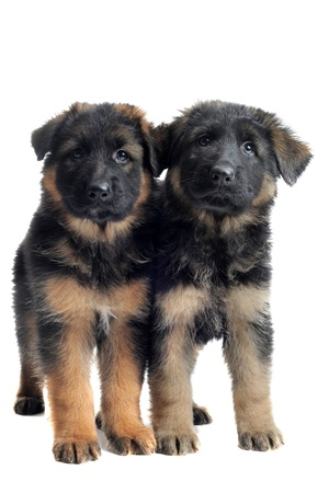 german shepherd puppy: portrait of two puppies purebred german shepherd in front of white background