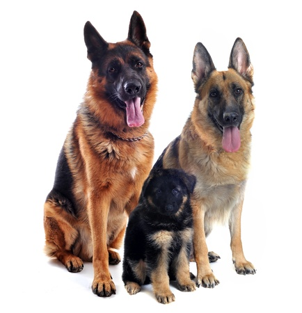 couple of a  purebred german shepherd and his puppy in front of white background photo
