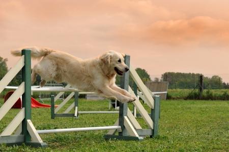 obedience: salto de pura raza golden retriever en un entrenamiento de la agilidad Foto de archivo
