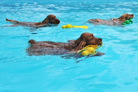 purebred three english cocker swimming in a swimming pool