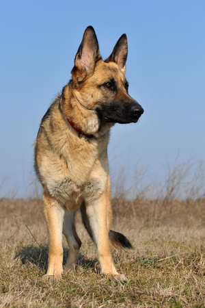 portrait of a  purebred german shepherd outdoors photo