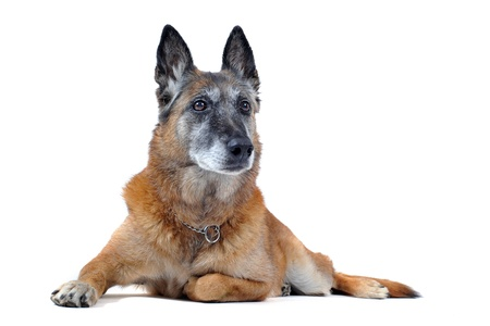 old purebred belgian sheepdog malinois laid down in front of white background Stock Photo