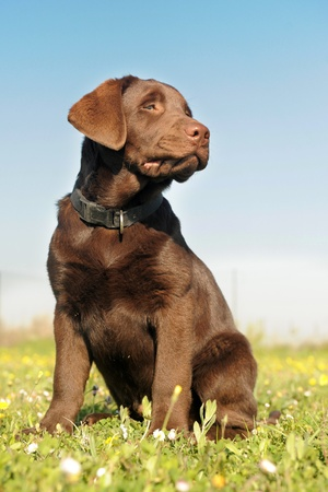 purebred puppy labrador retriever in a field