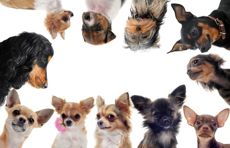 group of purebred little dogs in front of white background photo