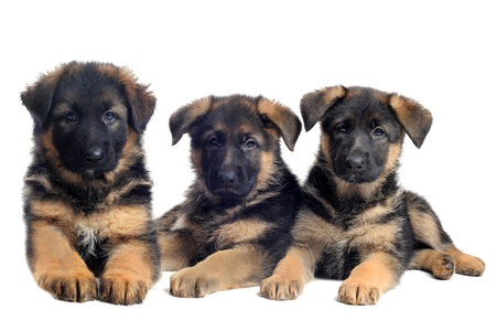 german shepherd: portrait of a  puppies purebred german shepherds in front of white background
