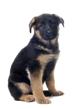 portrait of a  puppy purebred german shepherd in front of white background Stock Photo