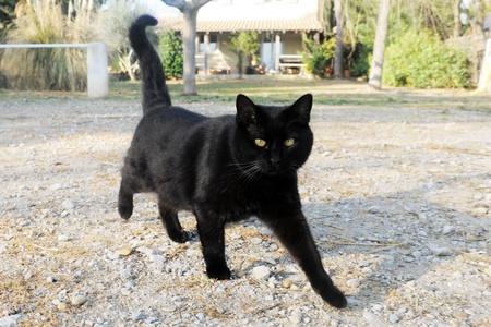 gato negro: gato negro hermoso paseaba en el huerto