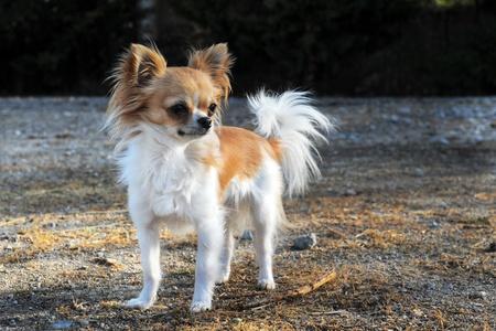 long hair chihuahua: portrait of a cute purebred  chihuahua upright Stock Photo