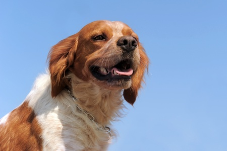 portrait of a brittany spaniel on a blue sky, focus on the eyes Stock Photo - 12938566