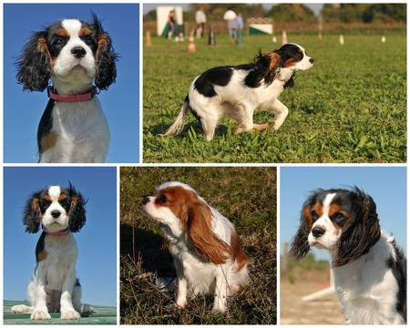 composite picture of purebred cavalier king charles  photo
