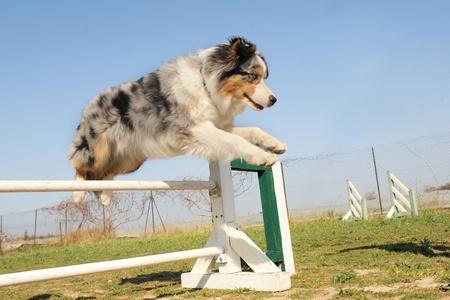 agility dog: jumping purebred australian shepherd  in the grass