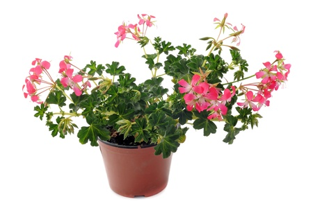 Close up of hanging geraniums, Pelargonium peltatum, in front of white backgournd photo