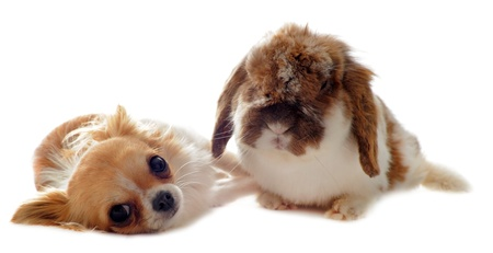 portrait of a cute purebred  puppy chihuahua and bunny in front of white background Stock Photo - 13031600