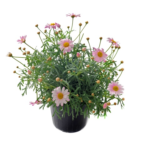 chinensis: Close up of pink daisies, Callistephus chinensis, in front of white backgournd