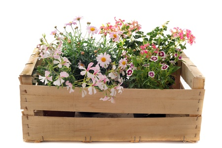 Close up of hanging geraniums, daisies and marigold in a crate photo