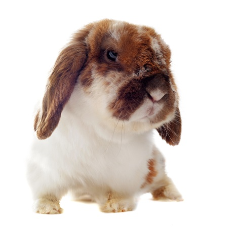 lop lop rabbit white: portrait of a cute purebred  puppy chihuahua and bunny in front of white background